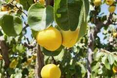 Harvest-Time-Brentwood-Asian-Pears