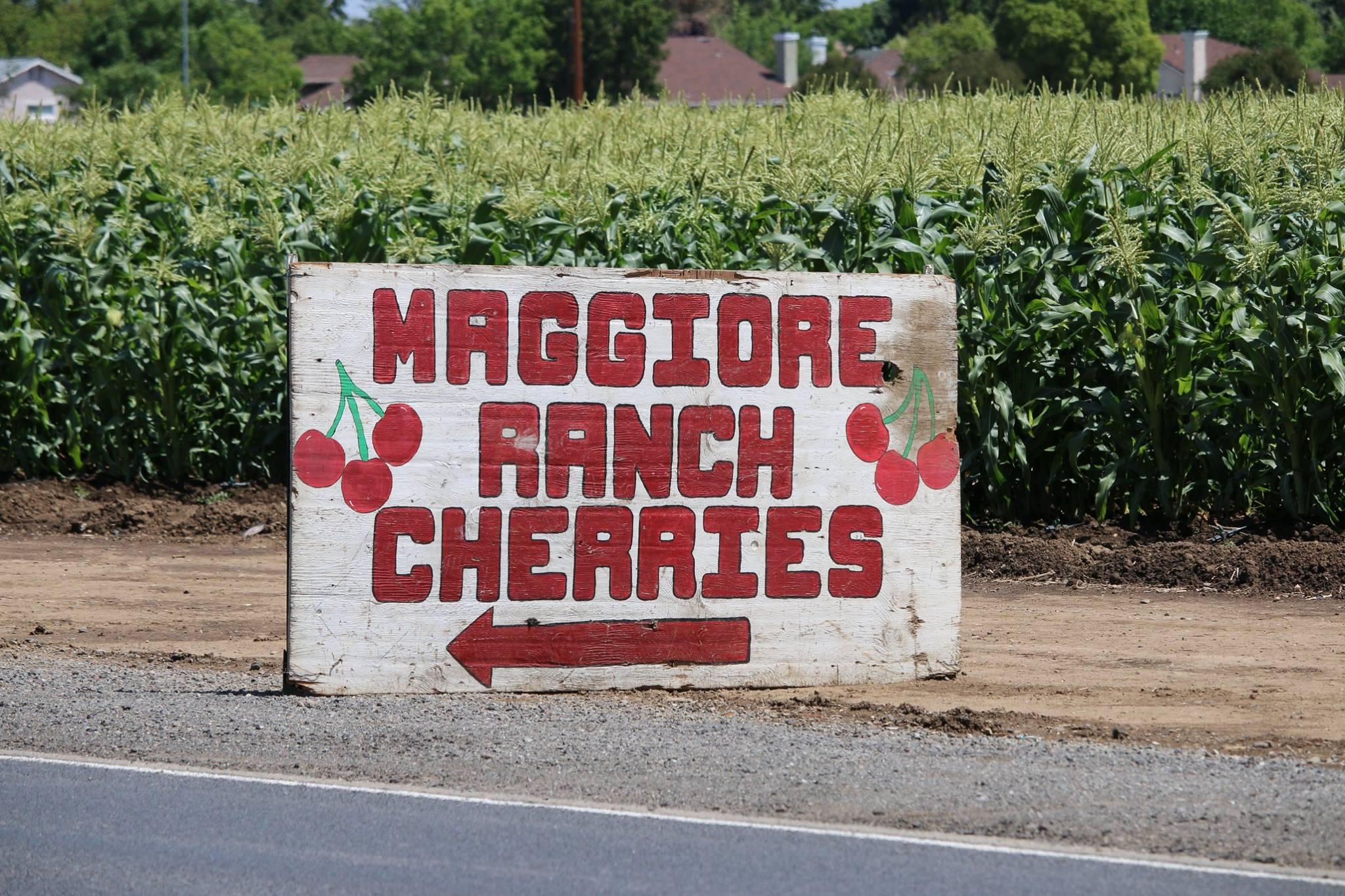 Maggiore Ranch - Harvest Time