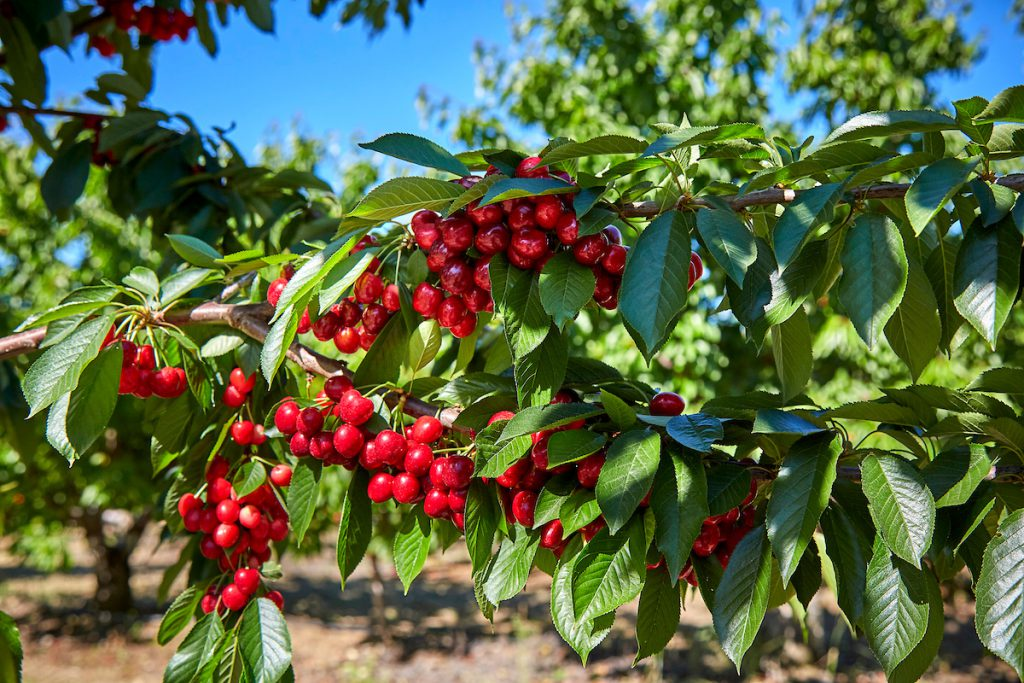 Harvest Time Brentwood Cherries - Harvest For You