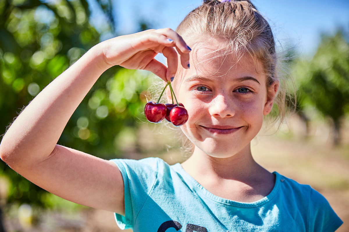 U Pick Cherries - Harvest Time For You Brentwood