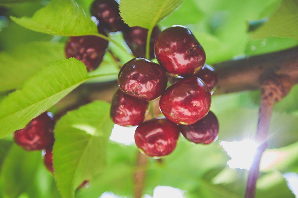 Upick Cherries - Harvest Time For You