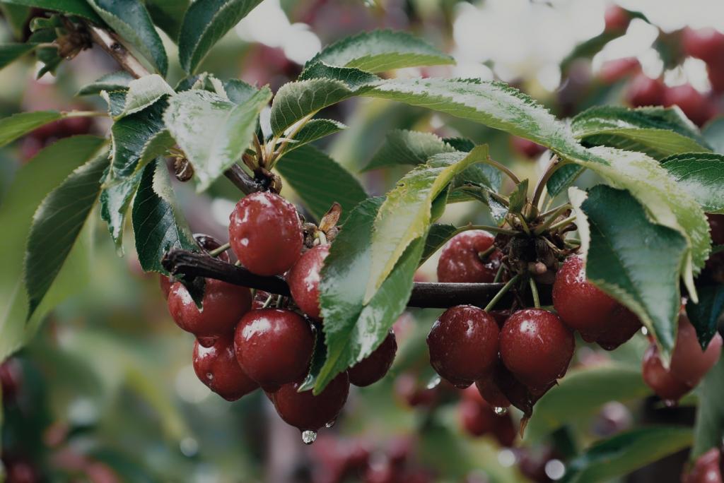 Harvest Time Cherry - Rain