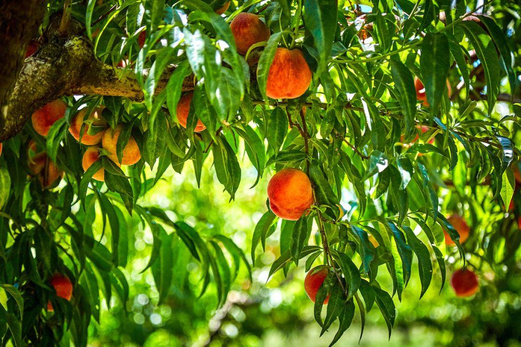 Harvest Time - Peaches