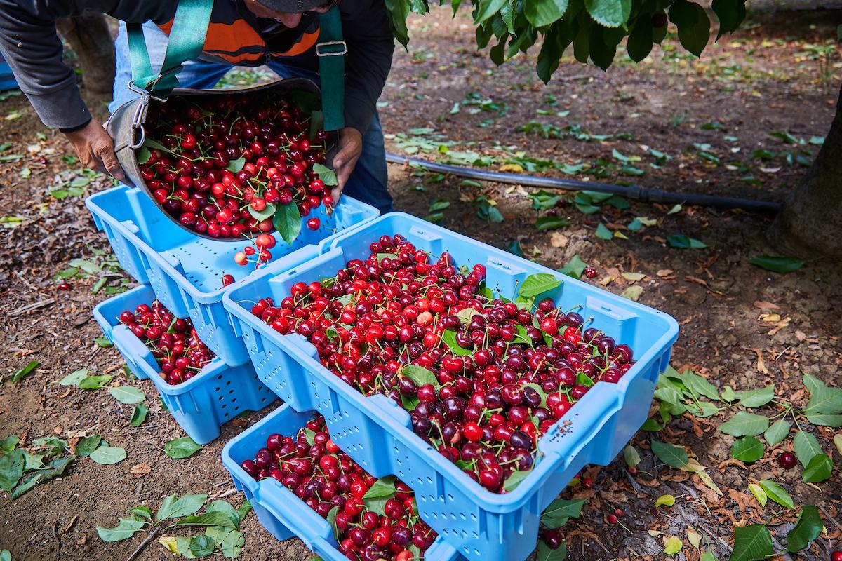 Harvet Time - Pre-picked Cherries