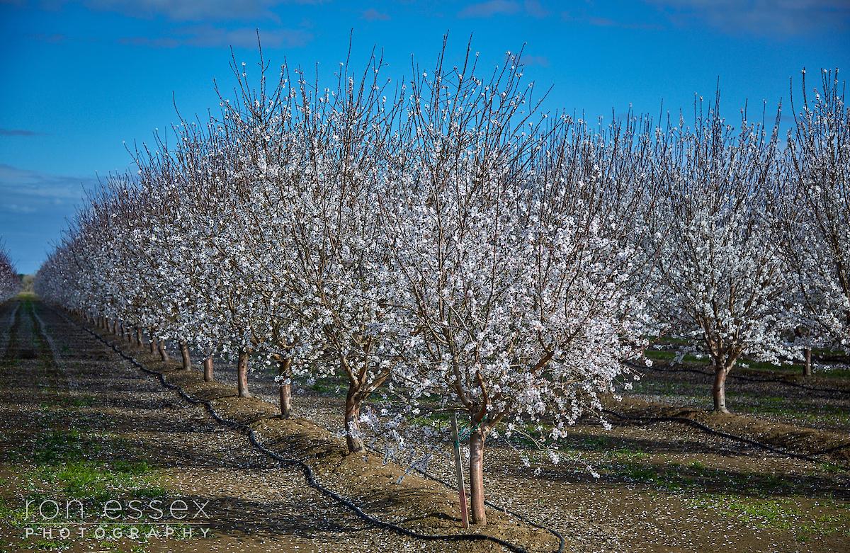 Bloomfield Almond Tree Blooms in Febrary
