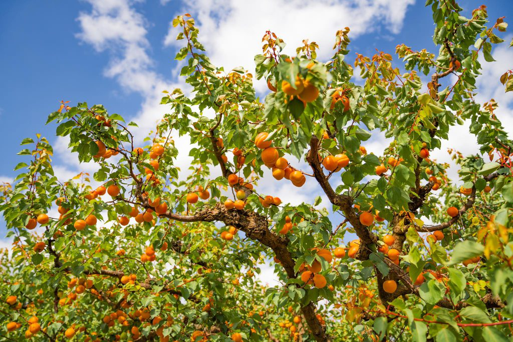 Apricots at Bacchini's Fruit Tree