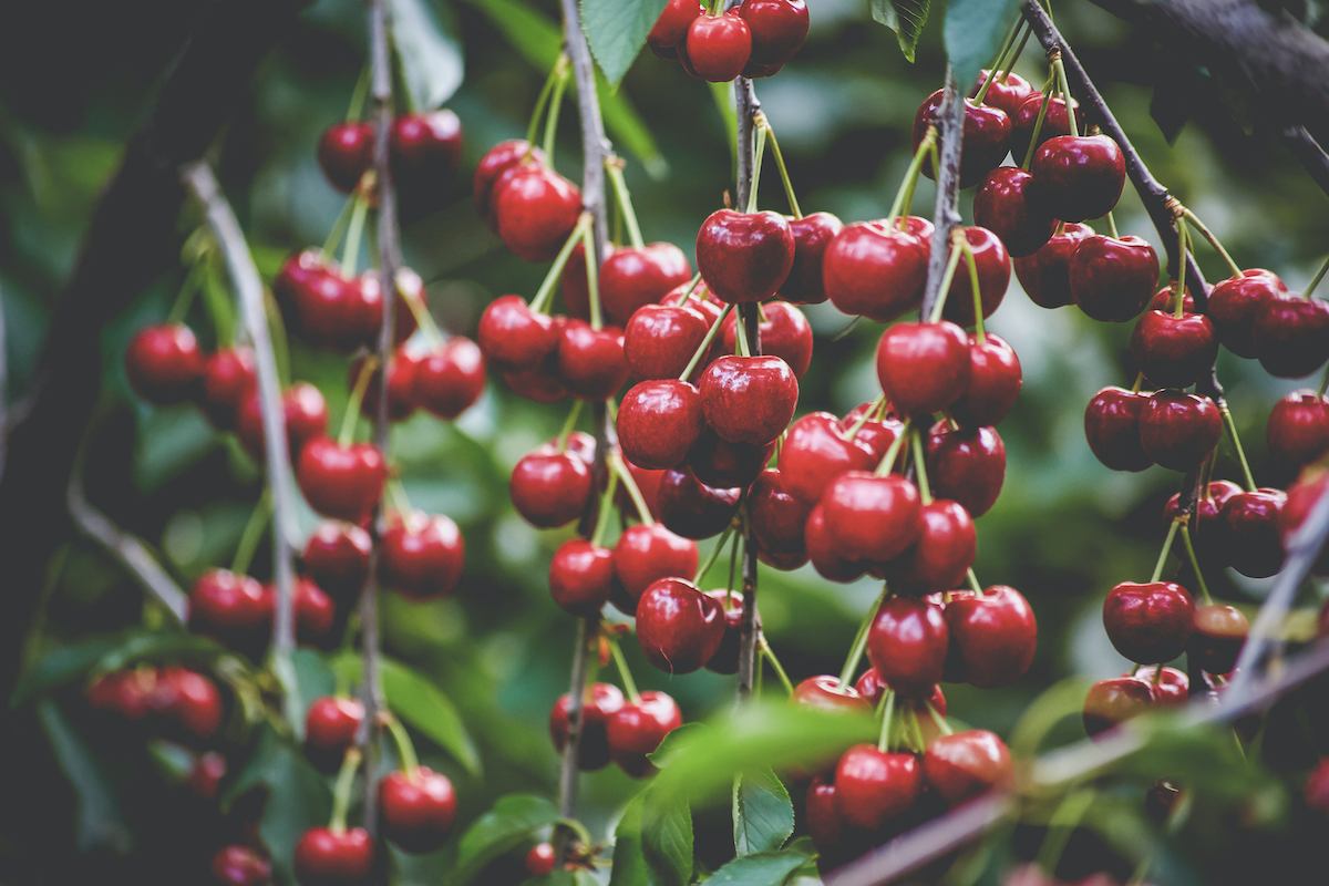 Cherries from Dwelley Family Farms