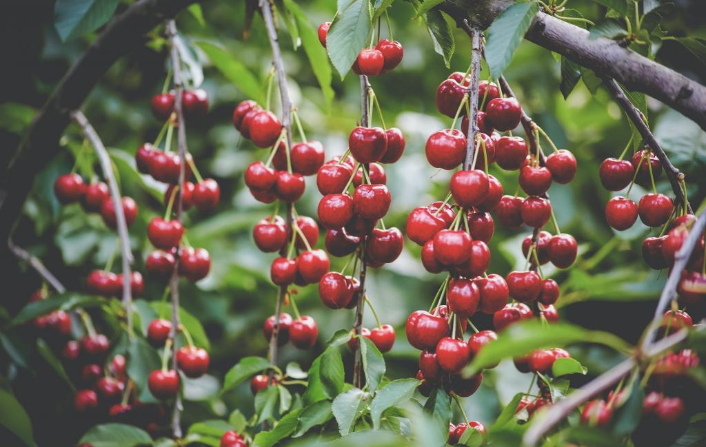 Cherry U-Pick - Harvest Time Brentwood