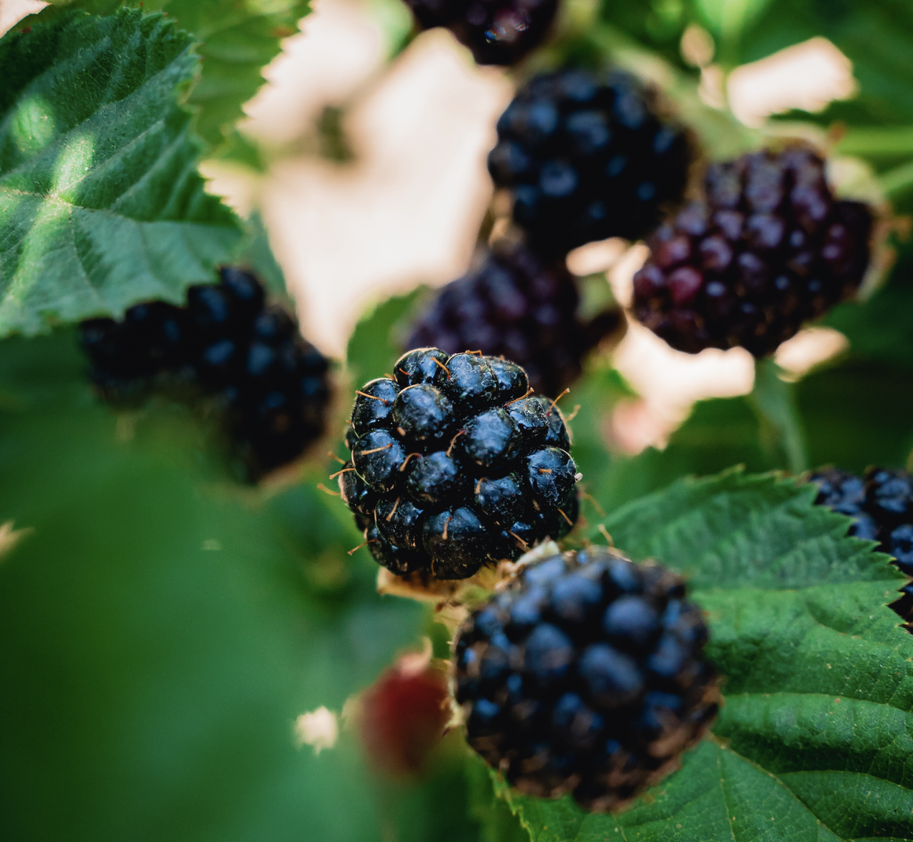 Harvest Time Brentwood - Black Berry U-Pick
