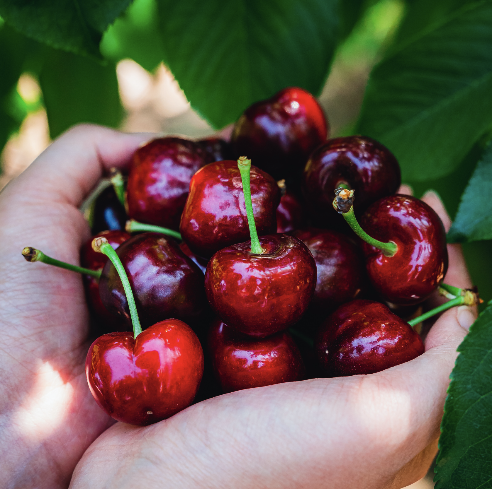 Harvest Time Brentwood - Cherry U-pick