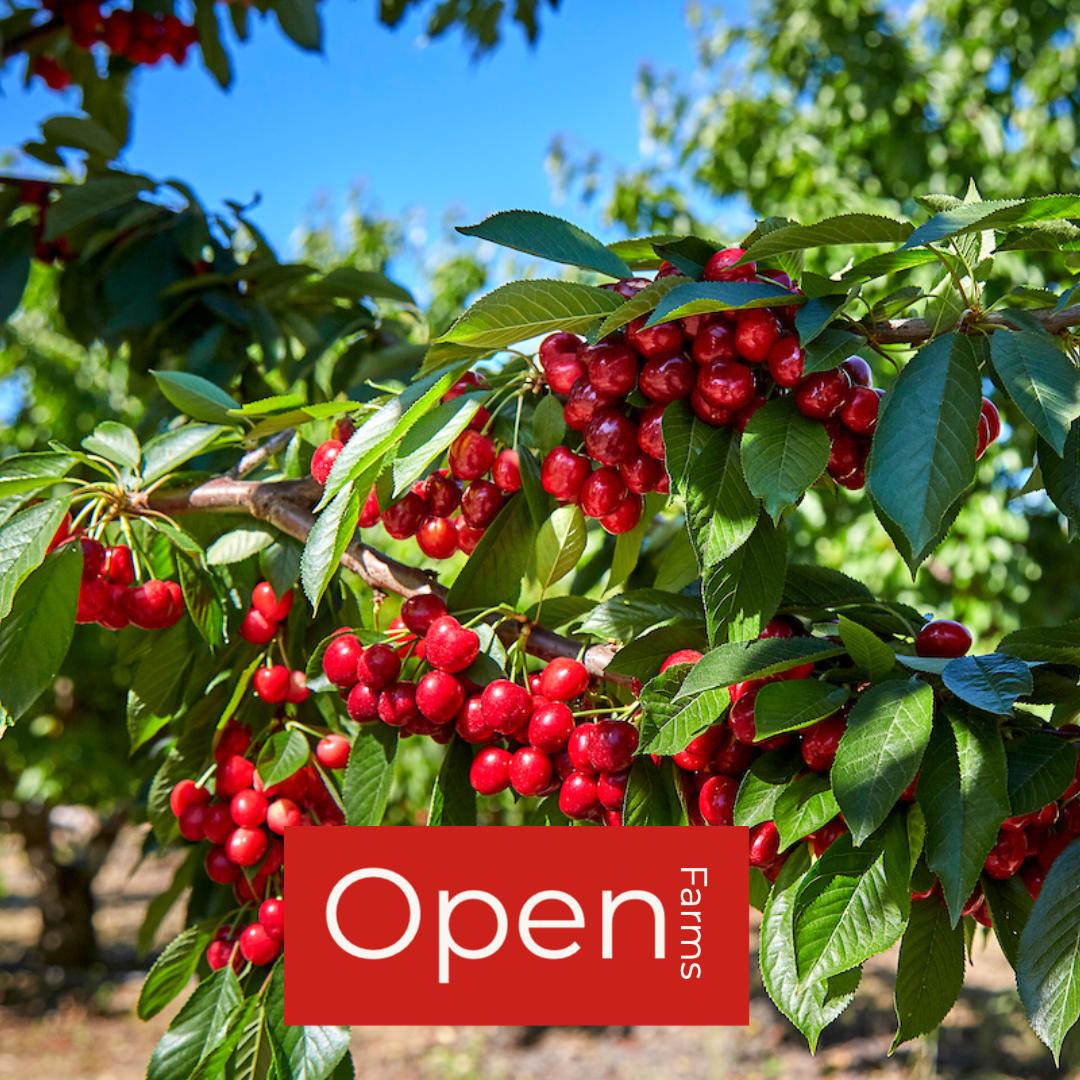 Harvest Time - Cherry U-Pick 2021 Season
