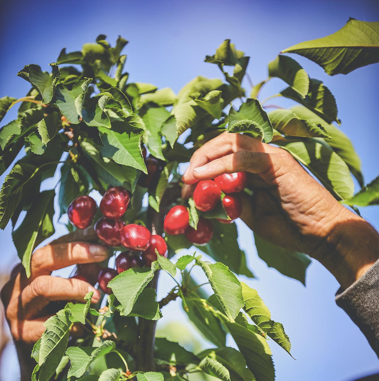 Harvest Time Cherry U-Pick