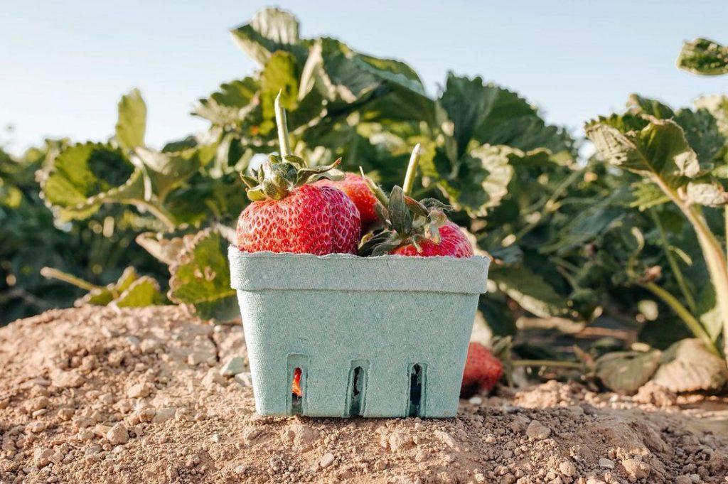 Strawberry U-pick - Photo of Strawberries from George's Roadside Berry Farm