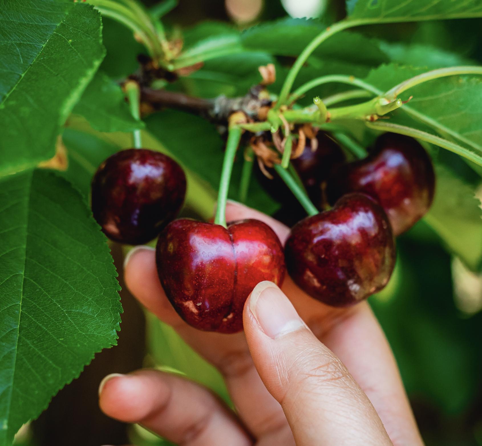 Harvest Time - Cherry U-Pick